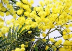 Dan mimoza: Salonitanke upozoravaju na ovu opaku bolest